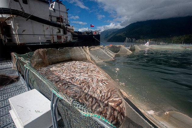 Fiordo Comau / Hualaihué / mortalidad de salmones